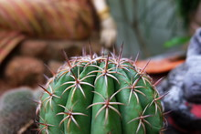 Strong Cactus