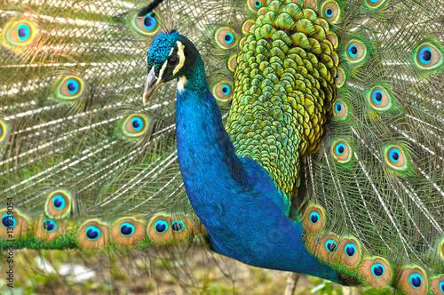 Foto op Aluminium Pauw Peacock close up, tail open