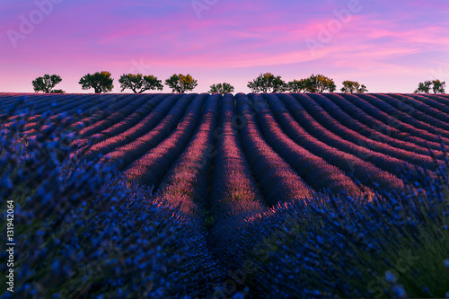 Fotoposter Lavendel Pink sunrise on the famous lavender franch Valensole lavnder fields.