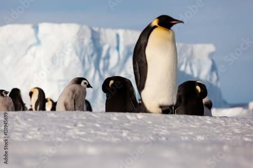 Tuinposter Pinguin Life of an Emperor penguin in the big colony (with chicks!))