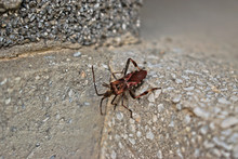 Closeup Of A Brown Triatominae Bug On A Gray Wall