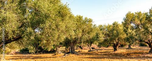 In de dag Olijfboom Olivenbäume (Olea europaea)