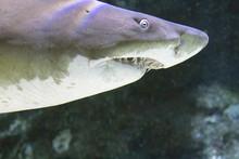 Shark Sharp Teeth