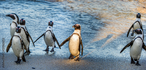 Tuinposter Pinguin African penguins ( Spheniscus demersus). African penguins walk out of the ocean on the sandy beach. African penguin ( Spheniscus demersus) also known as the jackass penguin and black-footed penguin.