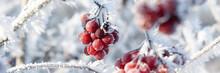 Strauch Mit Roten Beeren Und Raureif