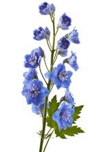 Blue Delphinium Flower With Gr...