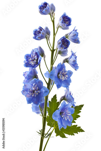 Slika na platnu Blue delphinium flower with green leaves on white background