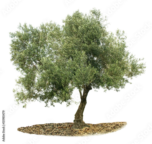 Foto op Plexiglas Olijfboom Olive tree on white