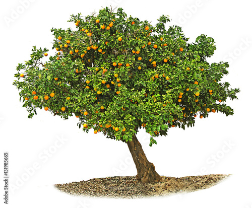 Obraz na plátne Orange tree on white background