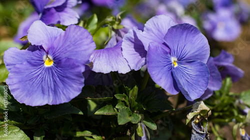 Pansies Pansies. Popular winter annuals. Landscape plants.