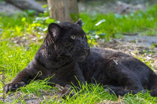 Photo Stands Panther Black Jaguar Cub