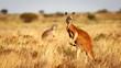 canvas print picture - Red Kangaroo, Flinders Ranges National Park, South Australia