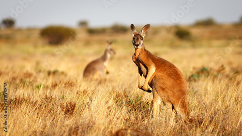 Photo sur Toile Kangaroo Red Kangaroo, Flinders Ranges National Park, South Australia