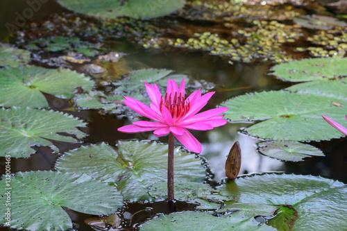 Deurstickers Waterlelies Lotus pink beautiful in river garden