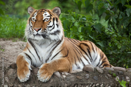 In de dag Tijger Siberian tiger (Panthera tigris altaica)