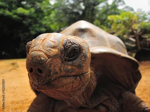 Fotografie, Obraz  Big Aldabra tortoise detail in Mauritius.