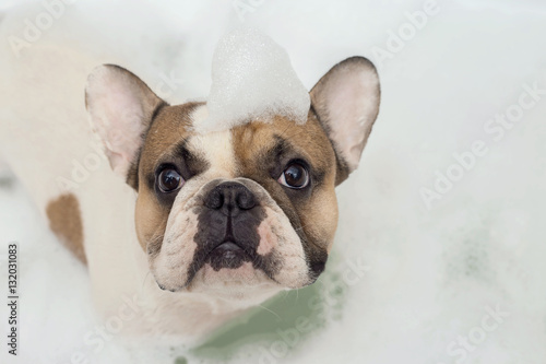 Poster Bouledogue français french bulldog takes a bath