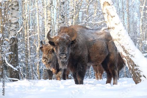 Fényképezés  Two Wisents in winter birch forest