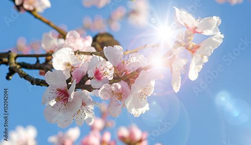 Papiers peints Cerises Glückwunsch, alles Liebe: Verträumte Kirschblüten vor blauem Frühlingshimmel :)