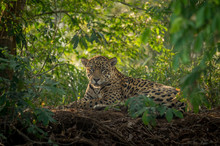 Jaguar Resting In The Jungle