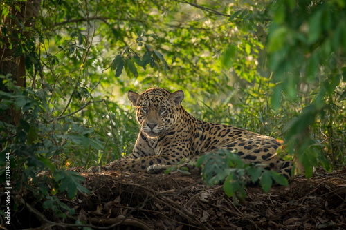 Fotografia  Jaguar resting in the jungle