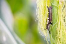 Armyworm On Corn