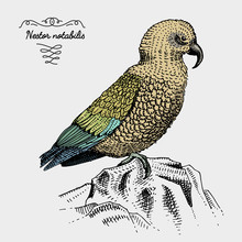 Kea Bird Engraved, Hand Drawn Vector Illustration In Woodcut Scratchboard Style, Vintage Drawing Species.