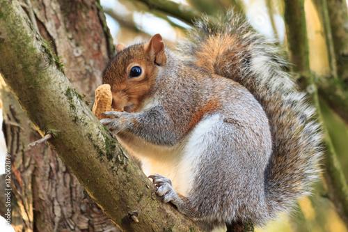 Foto op Canvas Eekhoorn Grey Squirrel in tree with nut