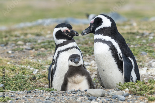Magellanic penguins family with a baby in natural environment on Magdalena island in Patagonia, Chile, South America
