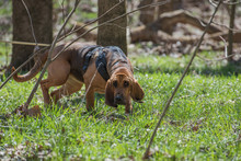 Bloodhound Wearing A Harness A...