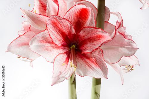 Hippeastrum Amaryllis Charisma, Dutch hybride, white-pink flower
