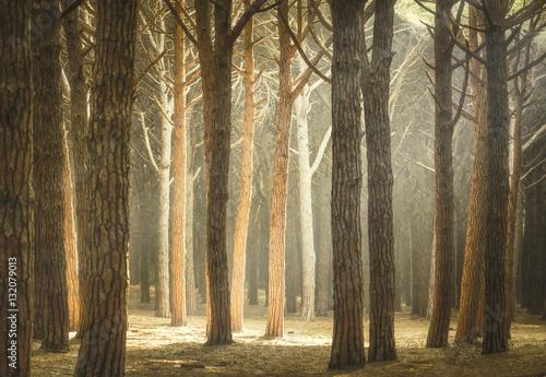 Italian Pine tree misty forest or pinewood. Maremma Tuscany