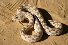 African Saharan Horned Viper I...