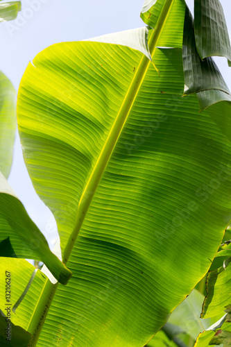 Fotografia, Obraz  Banana green leaf backlit sun in garden
