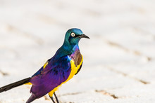 Golden Breasted Starling Bird ...