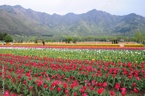 Photo  Tulip garden in Srinagar, Kashmir, India