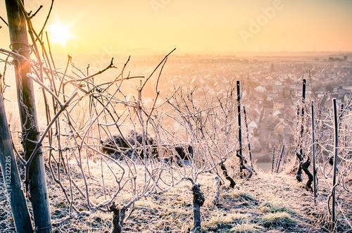 Garden Poster Vineyard vineyard with winter frost in warm light