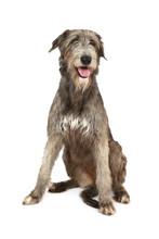 Portrait Of An Irish Wolfhound...