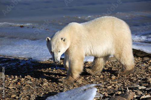 Acrylic Prints Polar bear Eisbär