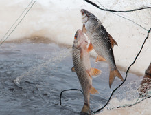 Two Freshwater Fish Caught In ...