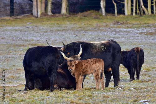 Valokuva  aurochs animal bos primigenius