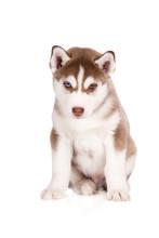 Brown Siberian Husky Puppy Pos...