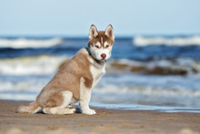 Brown Siberian Husky Puppy By The Sea