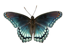 Red Spotted Purple Admiral, Limenitis Arthemis Astyanax, Beautiful Blue Butterfly Isolated On White