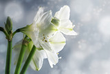 White amaryllis flowers (Hippeastrum) against a snowy winter background