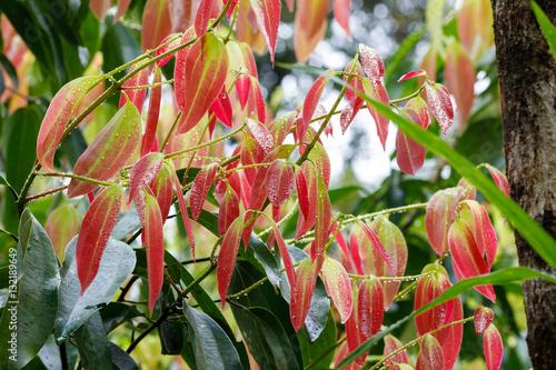 Cinnamon Tree - Cinnamomum zeylanicum Fototapeta