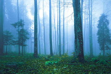 Beautiful blue colored foggy forest tree landscape.