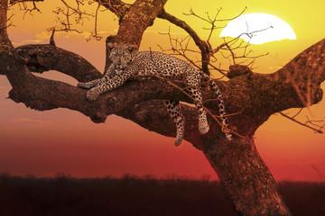 Fototapeta na wymiar sunset leopard