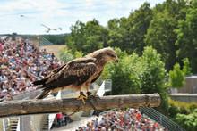 Eagle In A Bird Show