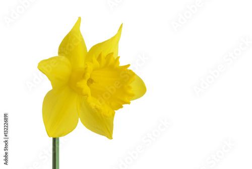 In de dag Narcis Daffodils